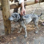Catahoula Panther Cur